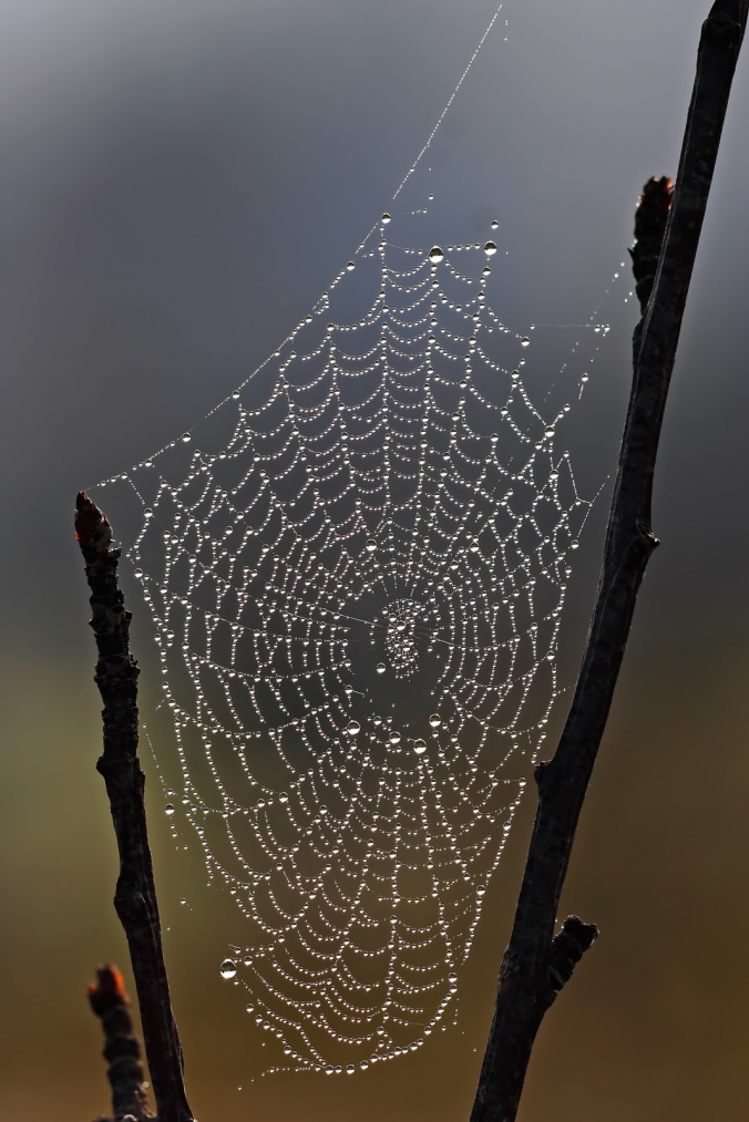 Spider_web_with_dew_drops
